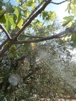olivier et figuier 04