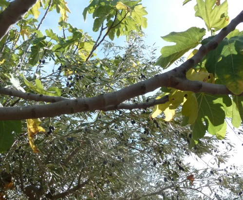 olivier et figuier 05