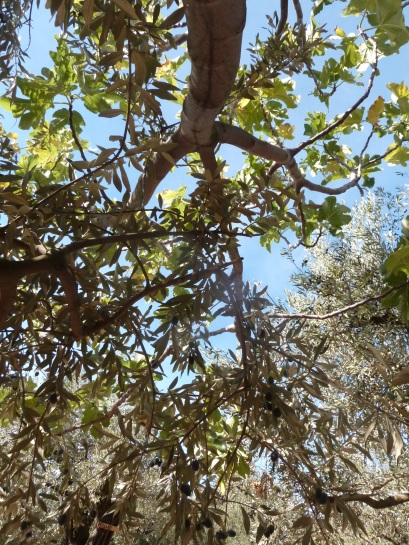 olivier et figuier 08