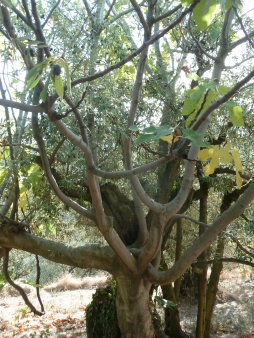 olivier et figuier 09