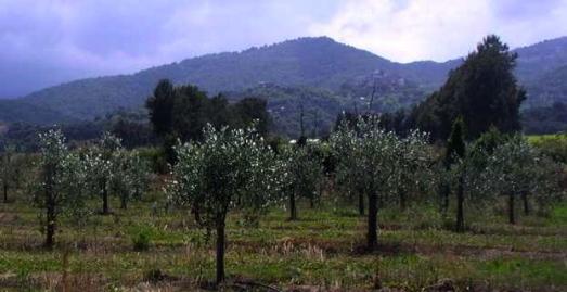 Premiers plants d'oliviers corses